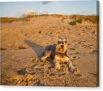 Standard Schnauzer Canvas Print - Schnauzer At Dawn by Stacy Abbott