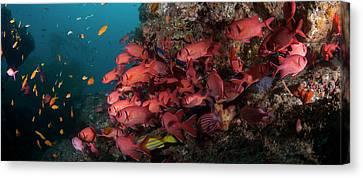 School Of Blotcheye Soldierfish Canvas Print