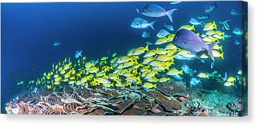 School Of Bluestripe Snappers Lutjanus Canvas Print by Panoramic Images