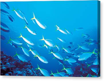 School Of Fish, Underwater Canvas Print by Panoramic Images