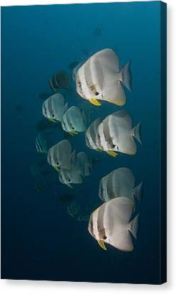 School Of Longfin Spadefish Canvas Print by Science Photo Library