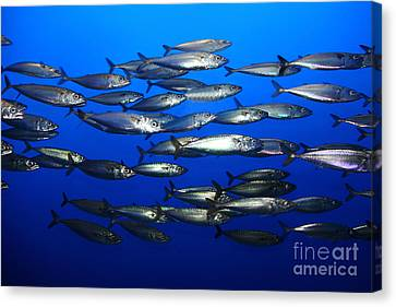 School Of Pacific Sardines 5d24927 Canvas Print by Wingsdomain Art and Photography
