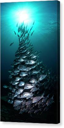 School Of Slingers Swimming In Sea Canvas Print