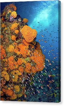Schooling Fusiliers And Anthias Swim Canvas Print by Jaynes Gallery