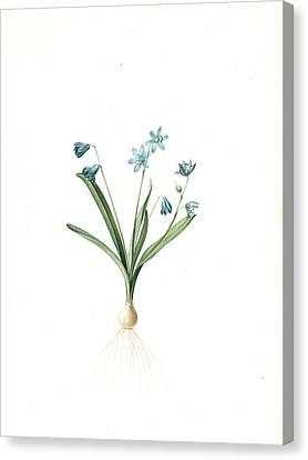 Scilla Amoena, Scilla Sibirica Scille Agréable Siberian Canvas Print