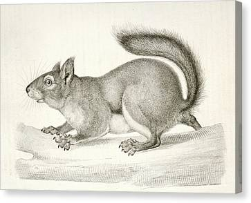 Sciurus Douglassii Var, Suckleyi Canvas Print by Artokoloro