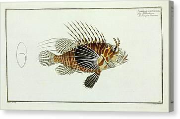 Scorpaena Antennata (pterois Antennata) Canvas Print by Natural History Museum, London