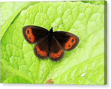 Scotch Argus Butterfly Canvas Print by Bob Gibbons
