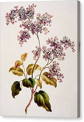 Purple Flowers Canvas Print - Scotch Lilac, Published 1793 by John Edwards