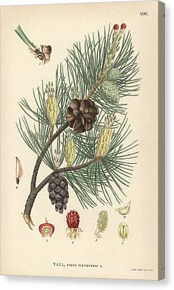 Scots Pine Canvas Print