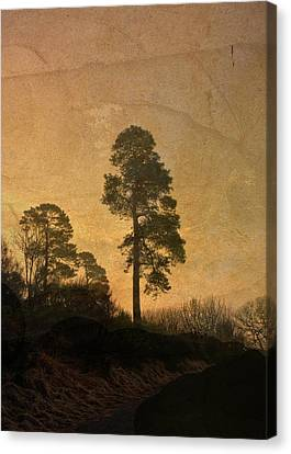 Scots Pine Canvas Print by Liz  Alderdice