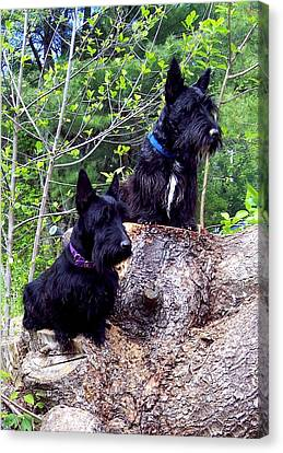 Scotties Canvas Print