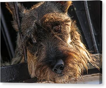 Scottish Terrier Closeup Canvas Print by Jess Kraft