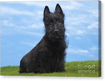 Scottish Terrier Puppy Canvas Print by Jean-Michel Labat