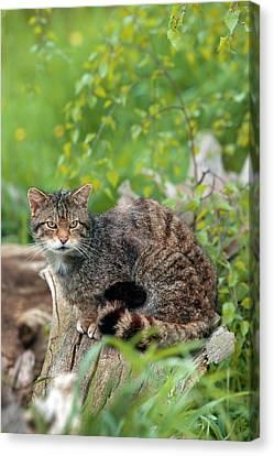 Scottish Wild Cat Canvas Print