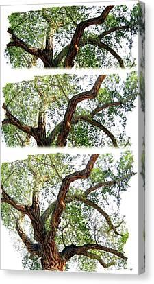 Scotty's Castle Oak Tree Canvas Print by Will Borden