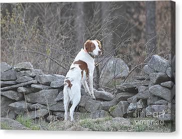 Scout Canvas Print by Sally Rice