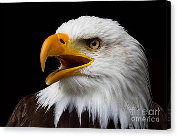 Screaming Bald Eagle Canvas Print by Nick  Biemans
