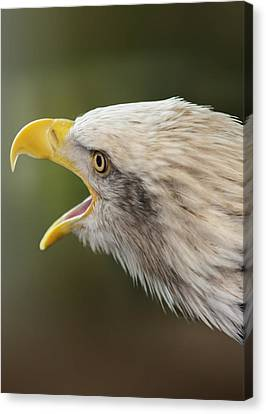 Screaming Eagle Canvas Print by Bill Tiepelman