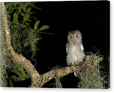Screech Owl Fledglings, Otus Asio Canvas Print by Maresa Pryor