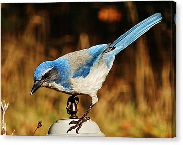 Canvas Print featuring the photograph Scrub Jay by VLee Watson