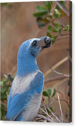 Canvas Print featuring the photograph Scrub Jay With Acorn by Paul Rebmann
