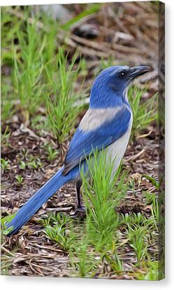 Scrubjay Canvas Print by Regina  Williams