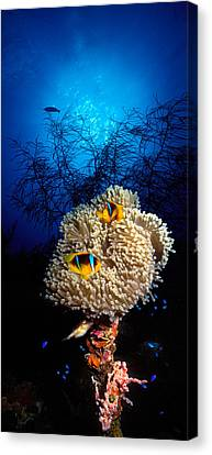 Sea Anemone And Allards Anemonefish Canvas Print by Panoramic Images