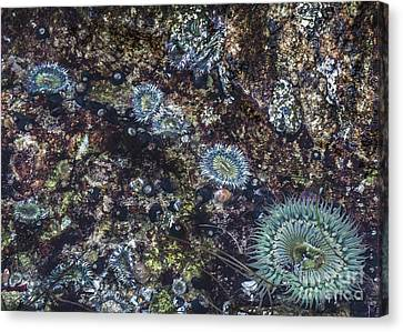 Canvas Print featuring the mixed media Sea Anenome Jewels by Terry Rowe