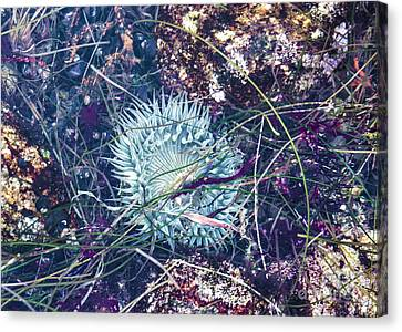 Sea Anenome - Terrestrial Flower Canvas Print by Terry Rowe