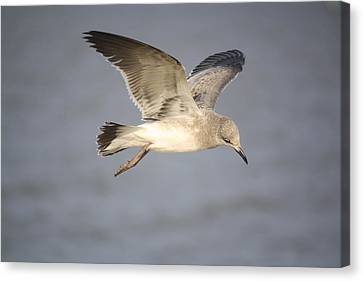 Sea Bird Canvas Print