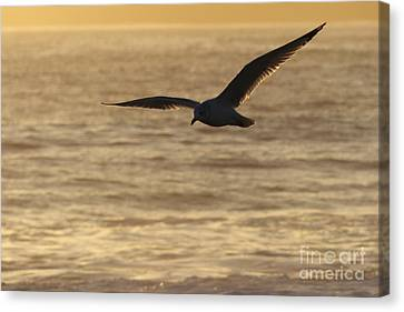 Flying Seagull Canvas Print - Sea Bird In Flight by Paul Topp
