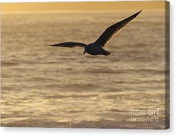 Sea Bird In Flight Canvas Print