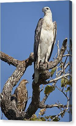 Top-end Canvas Print - Sea Eagle And Brown Kite Sharing A Tree by Douglas Barnard