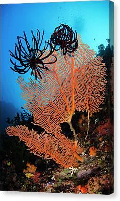 Sea Fan (gorgonia Canvas Print