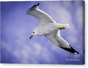 Sea Gull In Flight Canvas Print by Timothy Hacker