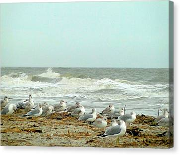 Sea Gulls In Windy Surf Canvas Print by Cindy Croal