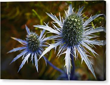 Sea Holly Blue Canvas Print by Ronda Broatch