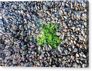 Sea Lettuce And Mussels Canvas Print by Peter Chadwick