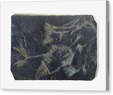 Sea Lilies Fossilised In Black Stone Canvas Print by Dorling Kindersley/uig