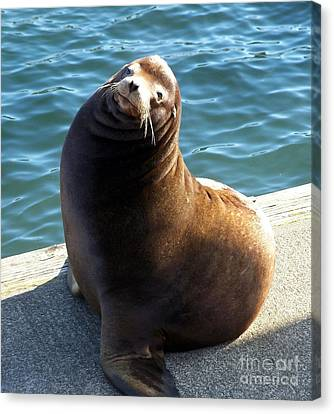 Sea Lion Basking In The Sun Canvas Print by Chalet Roome-Rigdon