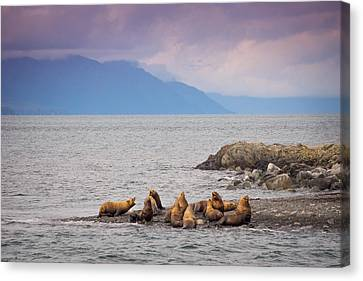 Canvas Print featuring the photograph Sea Lion Bulls by Janis Knight