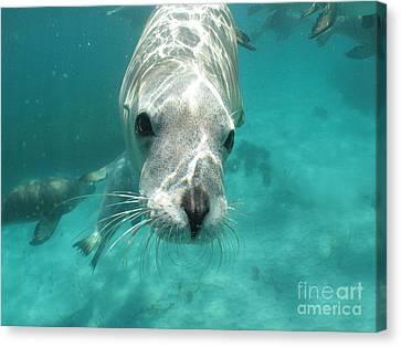 Sea Lion Canvas Print by Crystal Beckmann