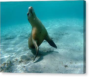 Sea Lion Play Time Canvas Print by Crystal Beckmann