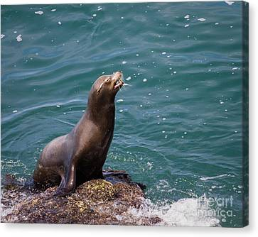 Sea Lion Posing Canvas Print