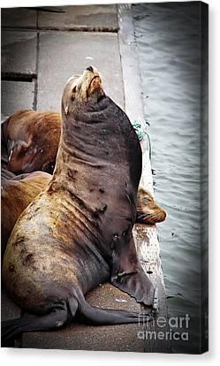 Sea Lion Canvas Print by Robert Bales