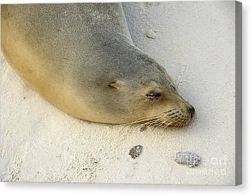 Sea Lion Sleeping On Beach Canvas Print by Sami Sarkis