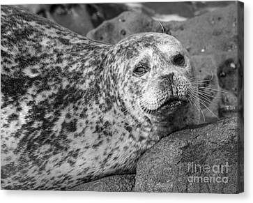 Sea Lion Stare In Monochrome Canvas Print by Darleen Stry