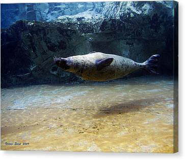 Canvas Print featuring the photograph Sea Lion Swimming Upsidedown by Verana Stark