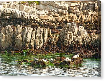 Sea Lions In Monterey Bay Canvas Print by Artist and Photographer Laura Wrede